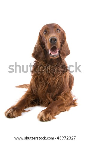 Portrait of an Irish Red Setter isolated on a white background - stock photo