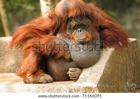 Portrait of an large adult Orangutan relaxing in a unique posture