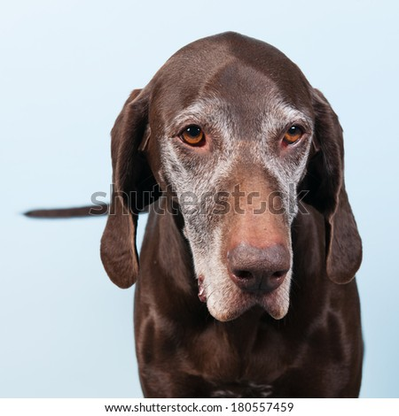 Portrait of an old dog against blue background