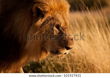 Portrait of an old lion injured - stock photo