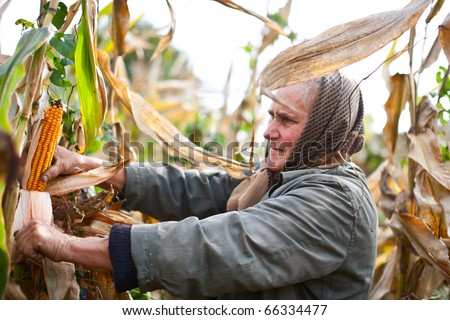 Portrait of an old woman harvesting corn - stock photo