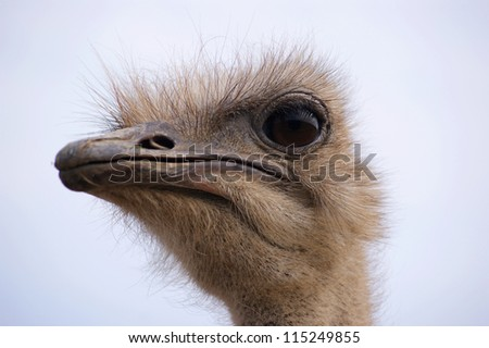 Portrait of an ostrich - stock photo