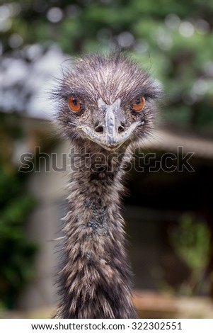 Portrait of an ostrich from the front