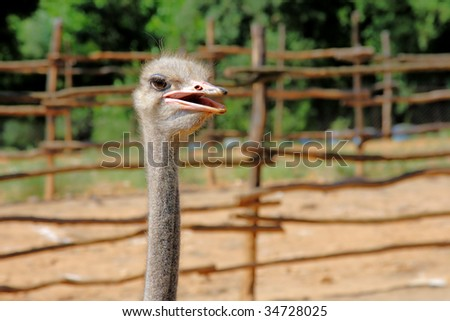 portrait of an ostrich in a farm