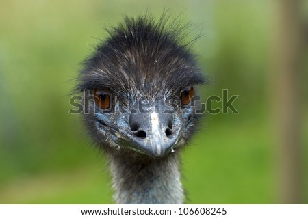 Portrait of an ostrich in ZOO