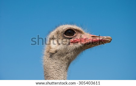 Portrait of an ostrich with intelligent eyes against the blue sky