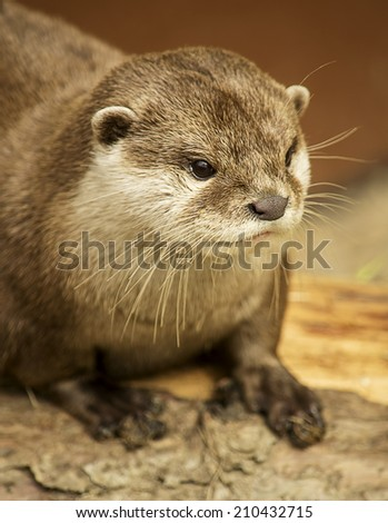 Portrait of an otter on a rock.