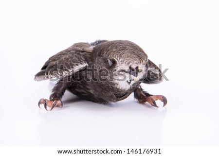 Portrait of an Young Eurasian Swift, isolated on white background - stock photo