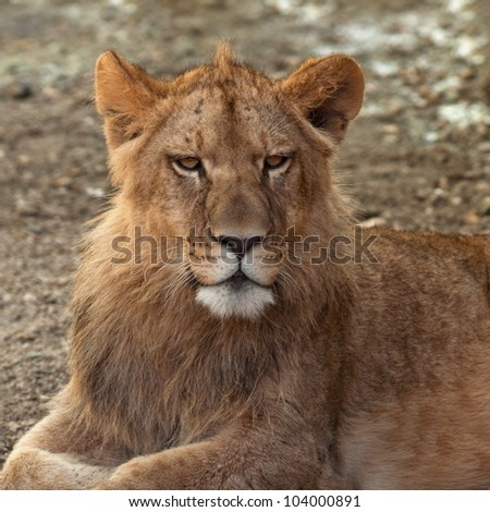 Portrait of an young lion laying in the sand.