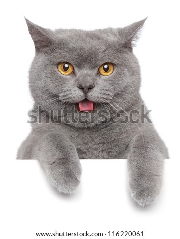 Portrait of angry British short-hair cat on a white banner; - stock photo