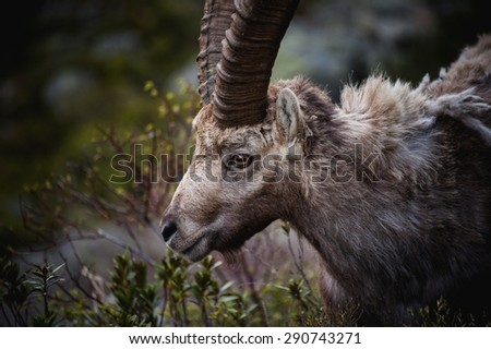 Portrait of antler Alpine Ibex, Capra ibex, with rocks and woods in background,  - stock photo