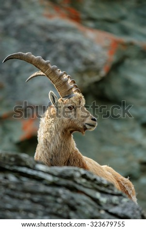 Portrait of antler Alpine Ibex, Capra ibex, with rocks in background, France - stock photo