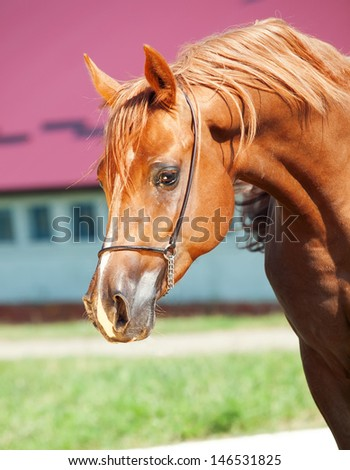 portrait of arabian horse at black background