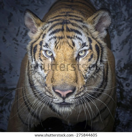 Portrait of Asian tiger. - stock photo