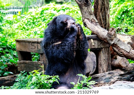 Portrait of Asiatic Black Bear eating on the rock with nature frame - stock photo