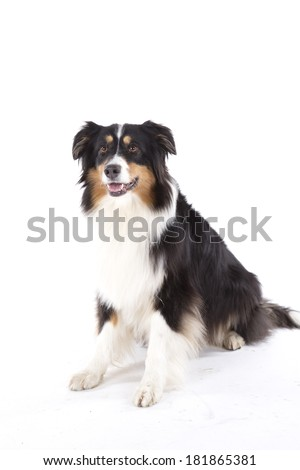 Portrait of australian shepherd dog - stock photo