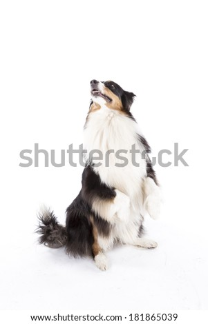 Portrait of australian shepherd sit pretty - stock photo