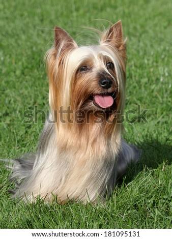 Portrait of Australian Silky Terrier in a summer garden - stock photo