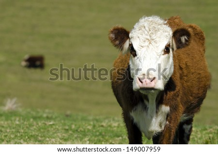 Portrait of Ayrshire cattle in a dairy farm in New Zealand. (copy-space) - stock photo