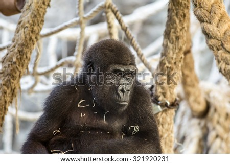 Portrait of baby gorilla in a zoo. - stock photo