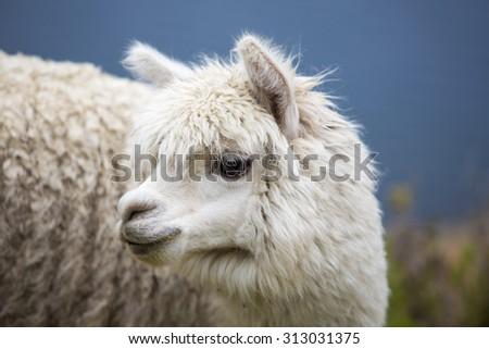 Portrait of baby llama (Lama glama) and living on Isla Del Sol (Island of Sun). Copacabana, Bolivia - stock photo