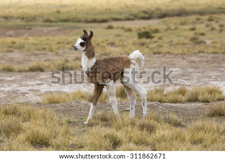 Portrait of baby llama (Lama glama) early in the morning at high altitude in Bolivia. - stock photo