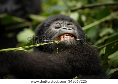 Portrait of baby mountain gorilla eating grass in the jungle of volcanic Virunga Mountains in Uganda - stock photo