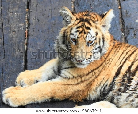 portrait of baby tiger in Guangzhou, China - stock photo