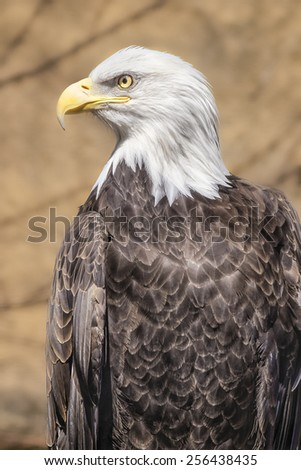 Portrait of Bald Eagle resting on the banch - stock photo