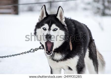 Portrait of barking Siberian Husky on a chain in winter - stock photo