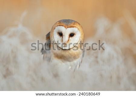 Portrait of Barn Owl (Tyto alba) sitting on the rime white grass in the winter morning light sun - stock photo