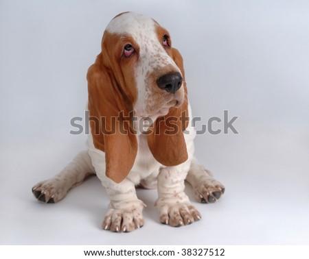 Portrait of basset-haund puppy on gray - stock photo