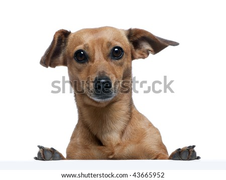 Portrait of bastard dog in front of white background, studio shot - stock photo