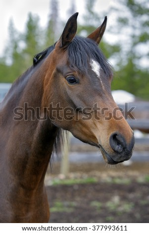 Portrait of Bay Arabian Mare