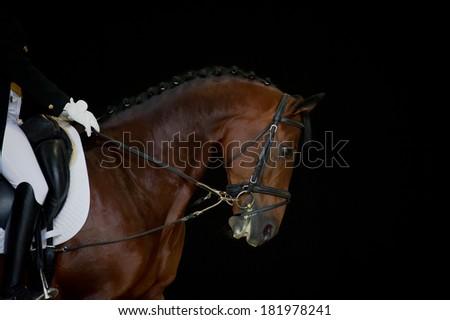 Portrait of bay dressage horse isolated - stock photo
