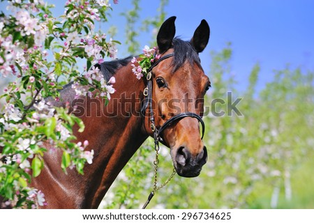 Portrait of bay horse in spring garden with blossoming apple trees - stock photo