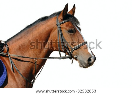 Portrait of bay horse isolated
