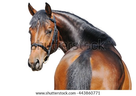 Portrait of bay horse isolated on white - stock photo