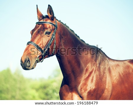 portrait of bay sportive horse
