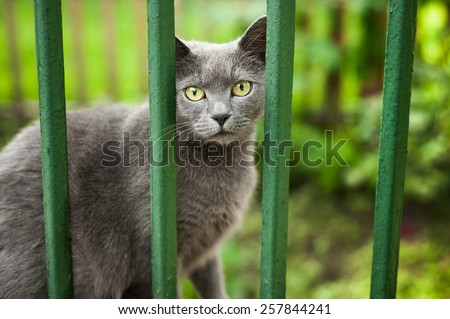 Portrait of beautiful adorable scared big yellow eyed gray cat sit and watching from behind an cage like green painted metal fence on blurred green foliage background