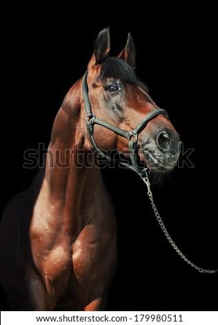 portrait of beautiful  bay  sportive  stallion at black background - stock photo