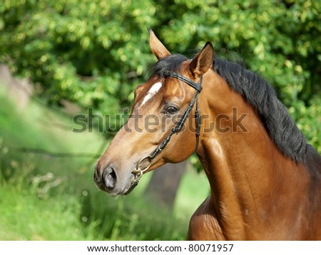 portrait of beautiful bay stallion