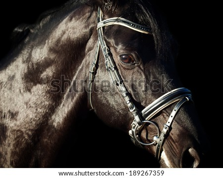Portrait of  beautiful black breed horse in motion. close up - stock photo