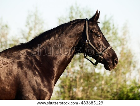 portrait of beautiful black breed stallion