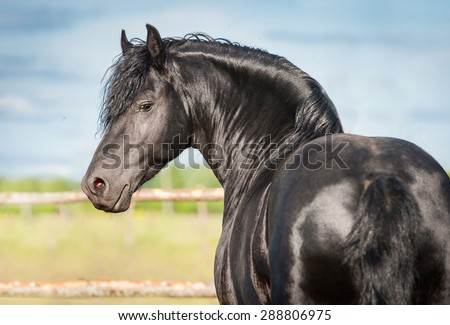 Portrait of beautiful black friesian stallion looking back - stock photo