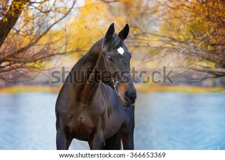 Portrait of beautiful black horse in a landscape of the river and the trees very much. The horse in the bridle pin - stock photo