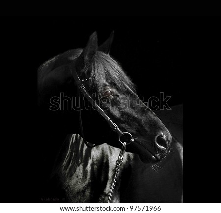 portrait of beautiful black  horse  on black background outdoor sunny day - stock photo
