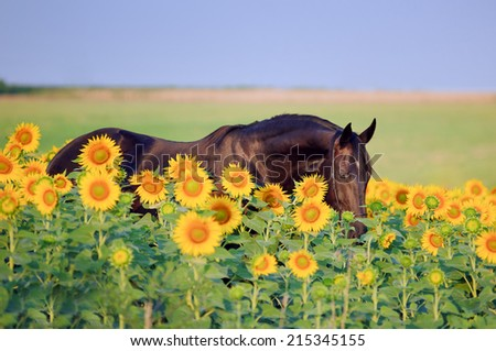 Portrait of beautiful black horse, which stands in sunflowers on a background field  - stock photo