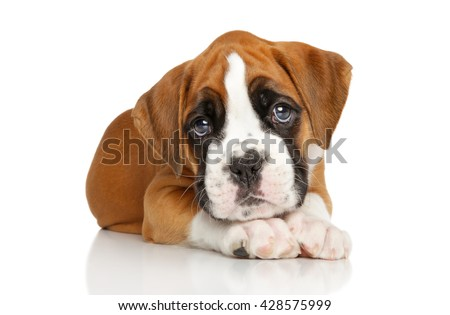 Portrait of Beautiful Boxer puppy on white background - stock photo