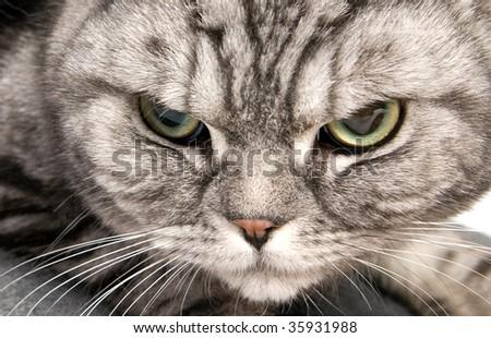 portrait of beautiful british shorthair cat closeup - stock photo